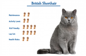 How To Breed British Shorthair Cats
